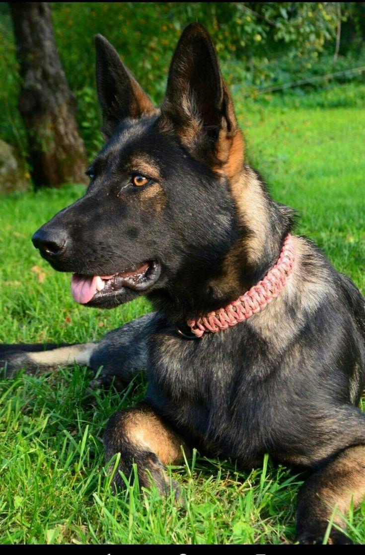 Black sable German shepherd https://m.facebook.com/pg/kavallerieshepherds/photos/?ref=page_internal&mt_nav=1