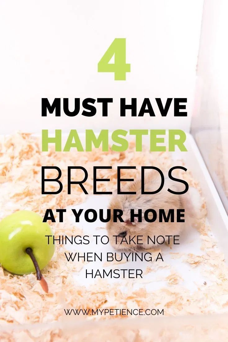 Which Hamster Breeds Are Perfect For You To Keep At Home