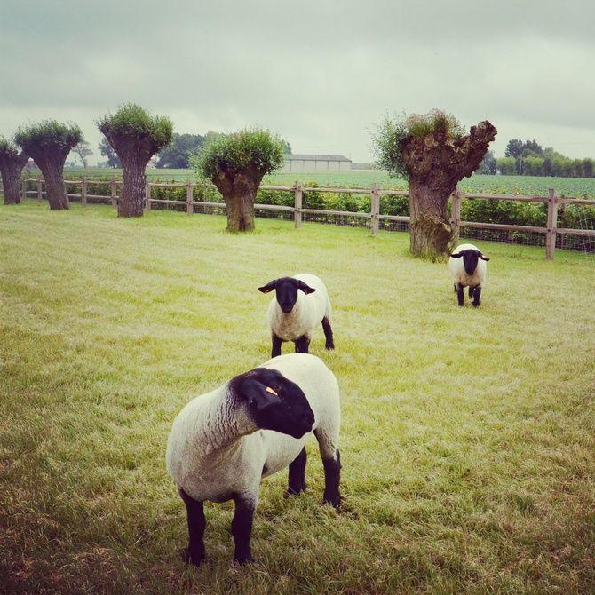 knotwilgen, schapen, weide, landelijke tuin