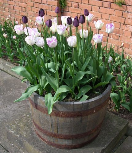 whiskey barrel planter ideas for near the big corner rock....could even throw in a few tulip bulbs for when spring arrives before the rest of the flowers get planted :)