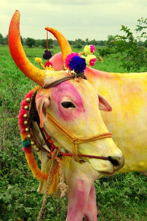India colorful sacred cow. http://haveheartdaily.com (Jupiter in Taurus in the 6th house of service & health) HOW things happens in my 6th house of service & health.