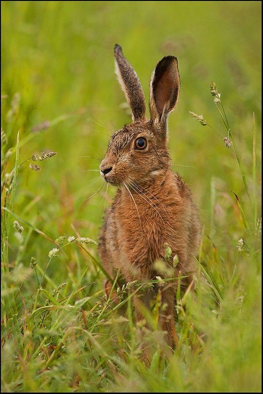 Hare in Grass by Simon Litten: God Creations, Beautiful Photo, Cute Animal, Simon Litten, Animal In Natural, Natural Beautiful, 29 Photo, Animal Photography, Adorable Animal
