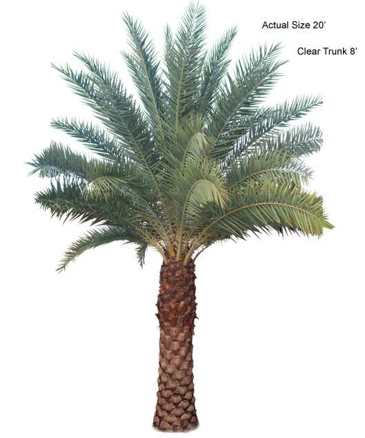 Large Sylvester Date Palm Tree  (Phoenix Sylvester) 8FT CT