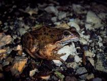 Nature  DOUBS  Opération amphibiens : une nouvelle réglementation en 2017
