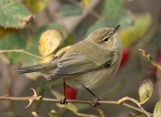 Chiffchaff - a summer visitor, very common on the riverside, and especially Mercers Wood