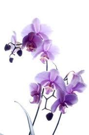 Orchideeën snoeien