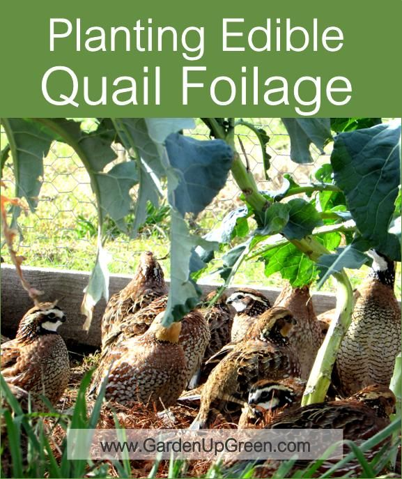 Planting Edible Quail Foliage for food treats