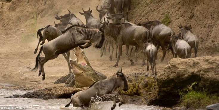 Jumping for its life, this wildebeest had a lucky escape as it leapt through the jaws of a hungry crocodile