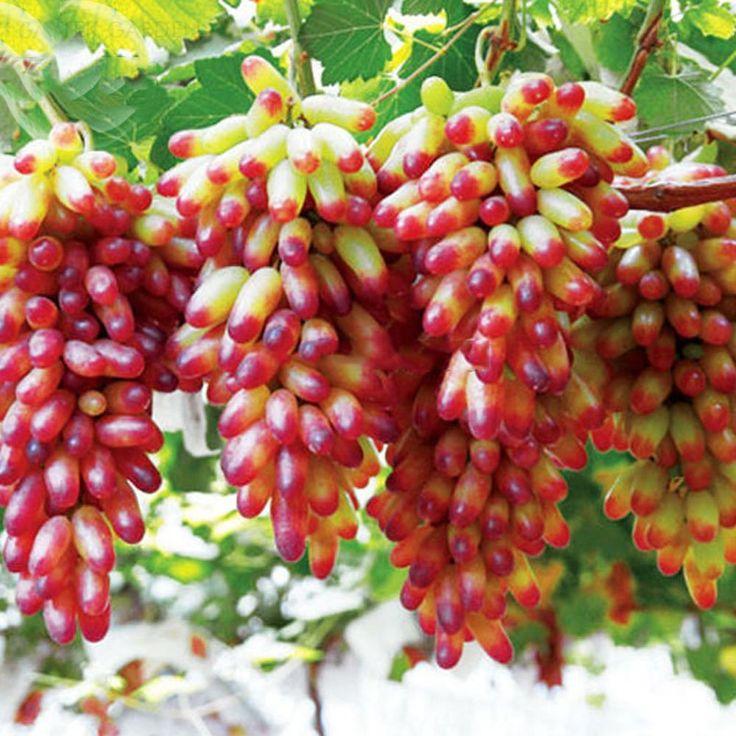 Amazon.com : Best Garden Seeds Mixed Grape Vitis Vinifera Vine Delicious Fresh Fruit, 15 Seeds, Organic Grape Fruits : Patio, Lawn & Garden