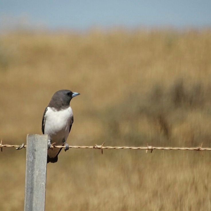Stunning photo of a White-breasted Woodswallow (Artamus (Artamus) leucorynchus) sent in by #questagame player, Amy. Have you downloaded our app yet? questagame.com