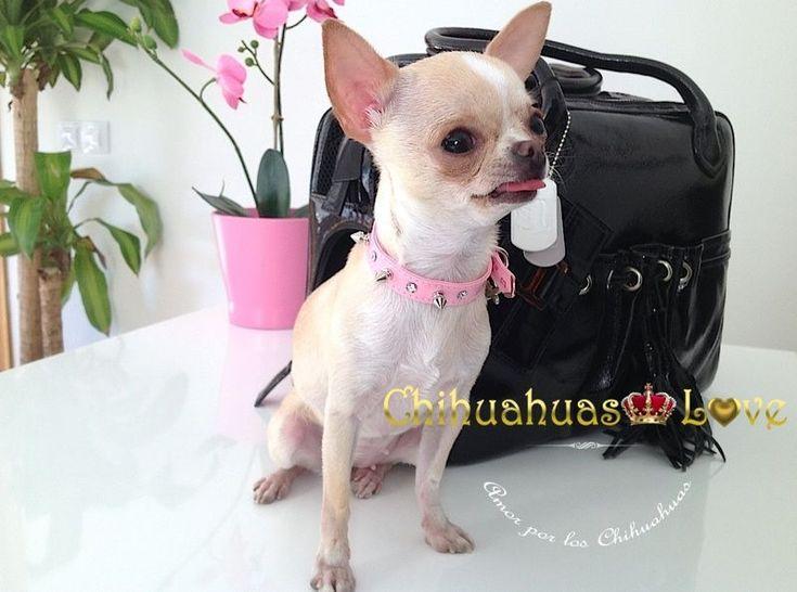 bolsos perros raza chihuahua