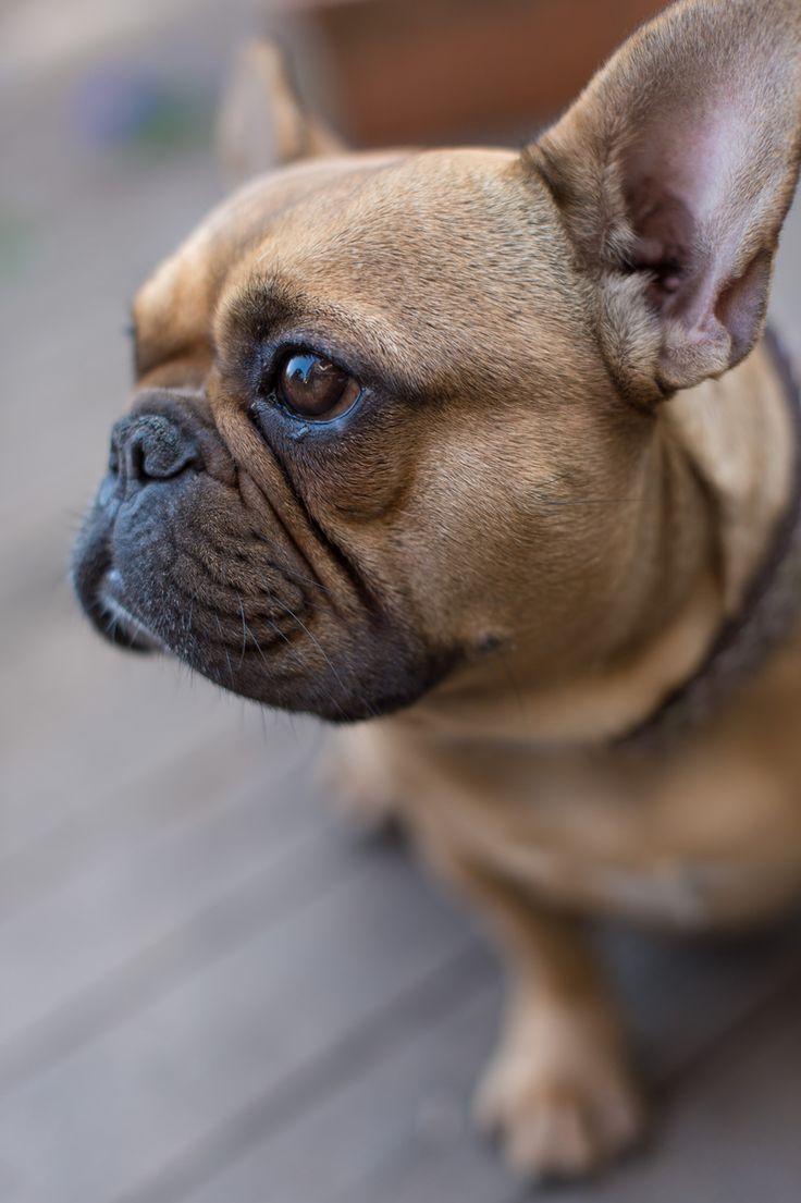 Französische Bulldogge im Profil <3 - Deine-Tierwelt.de
