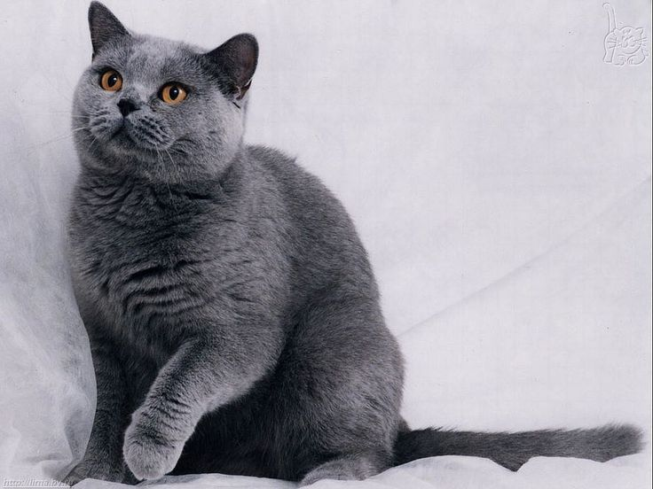Russian blue persian cat