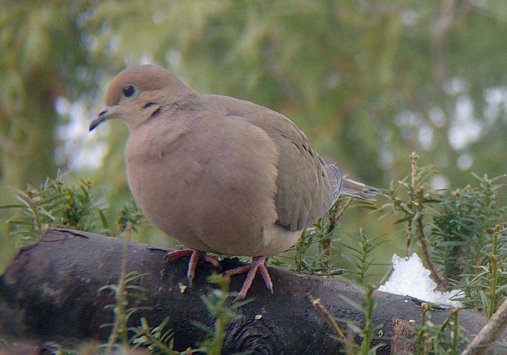 Dove Season: A Beginner's Guide