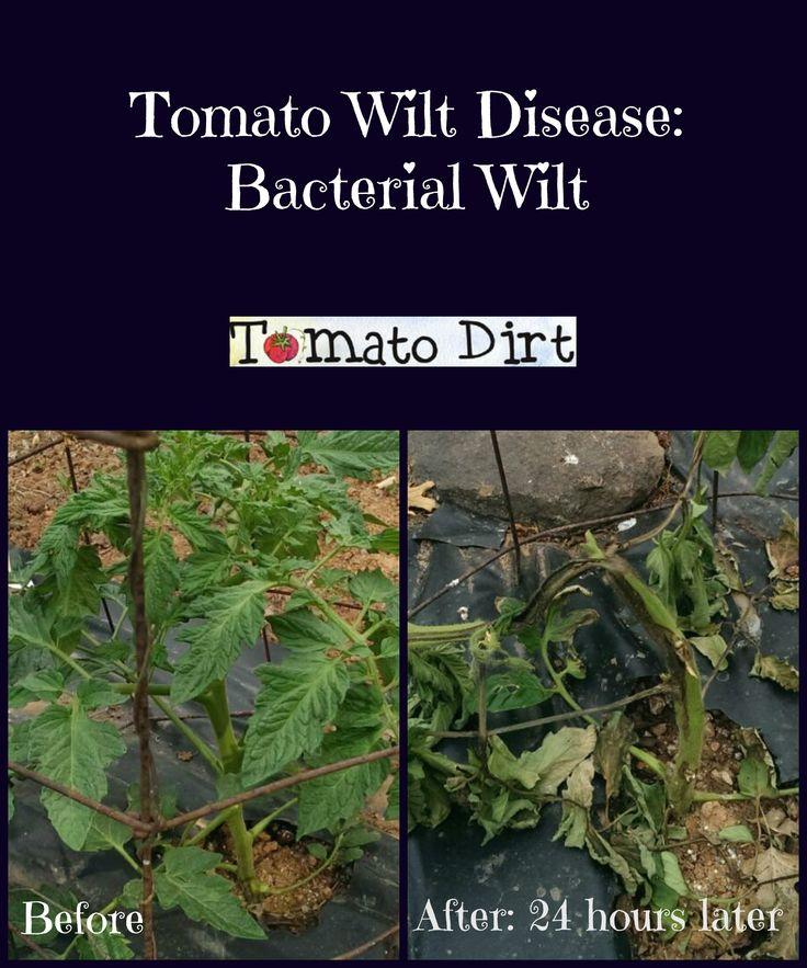 26 Best Tomato Diseases Images On Pinterest