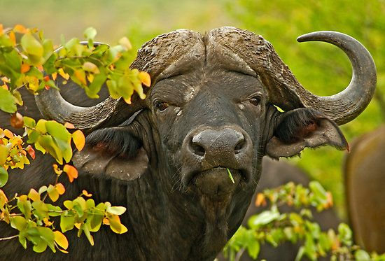 """""""African Buffalo (Syncerus caffer)""""  A very robust species, up to 1.7 metres high, 3.4 meters long. Savannah type buffaloes weigh 500–900 kg. African buffalo have few predators and are capable of defending themselves against (and sometimes killing) lions. African Buffalo (Syncerus caffer), Kruger National Park, South Africa, Africa. Nikon D200, Nikkor 70-300 mm, 1/100 sec at f/ 5.6, ISO 200  © Konstantinos Arvanitopoulos Photography. All Rights Reserved."""