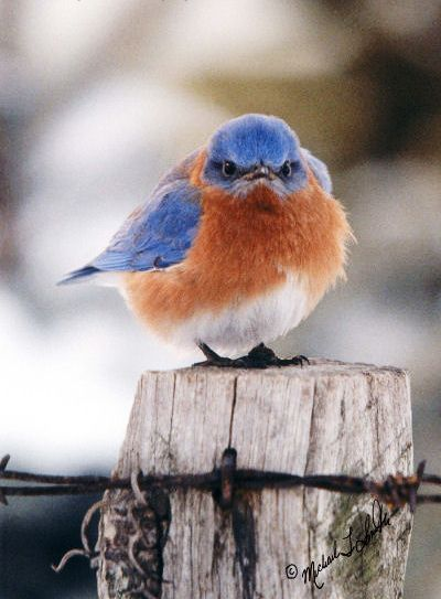 "This is my favorite bird photo!!! Love the bluebird but I also like that it's on a fence post. ~ You've probably seen this famous, ""grumpy"" bluebird photo (called ""The Mad Bluebird""), but do you know the story? This article from the Baltimore Sun (by Lisa Pollak, published January 4, 2000) called ""Out of the Blue"" sheds some light on the subject."