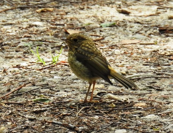 Juveniel roodborstje - Vogels - Roodborst