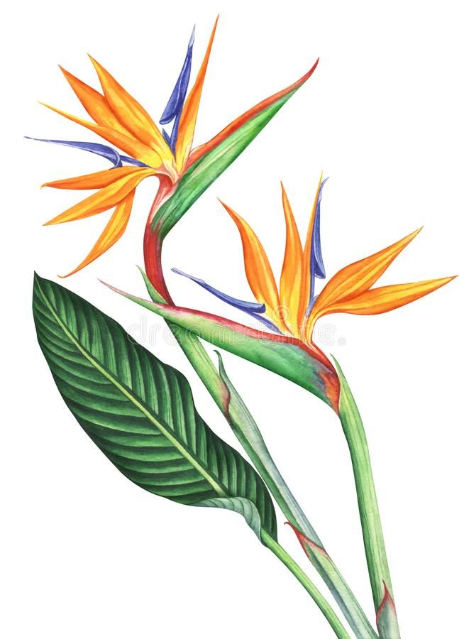Bird Of Paradise Flowers Ion White Background Hand Drawn Watercolor Illustration Paradise Painting Birds Of Paradise Flower Watercolor Illustration