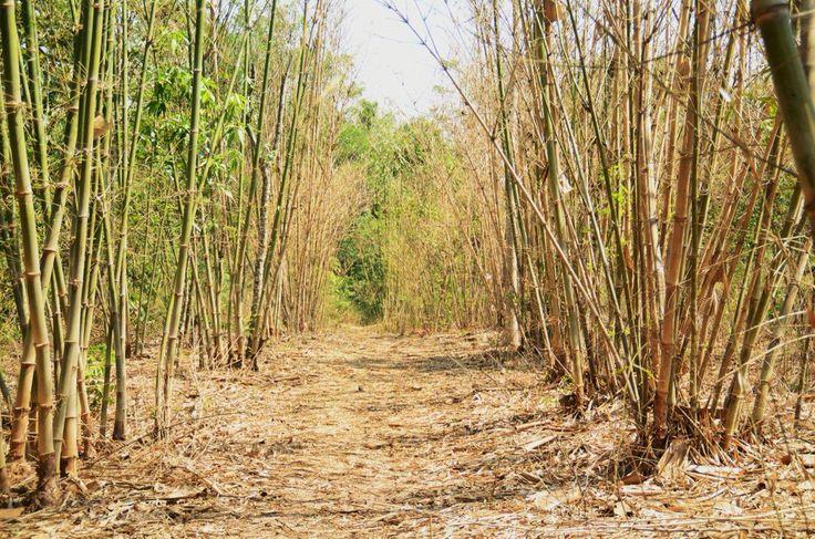 Desa Cibuntu di Kuningan ini memang cantik..... Contohnya hutan bambu yang eksotis ini.