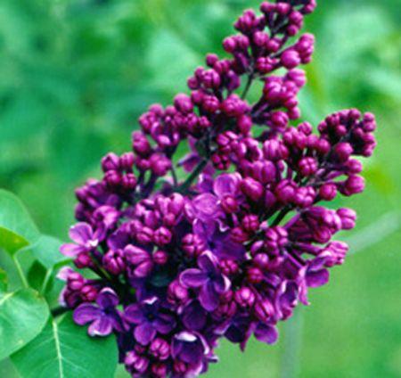Syringa hyacinthiflora 'Dark Night' | Lilacs | Pinterest ...