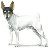 Toy Fox Terrier photos from the AKC website