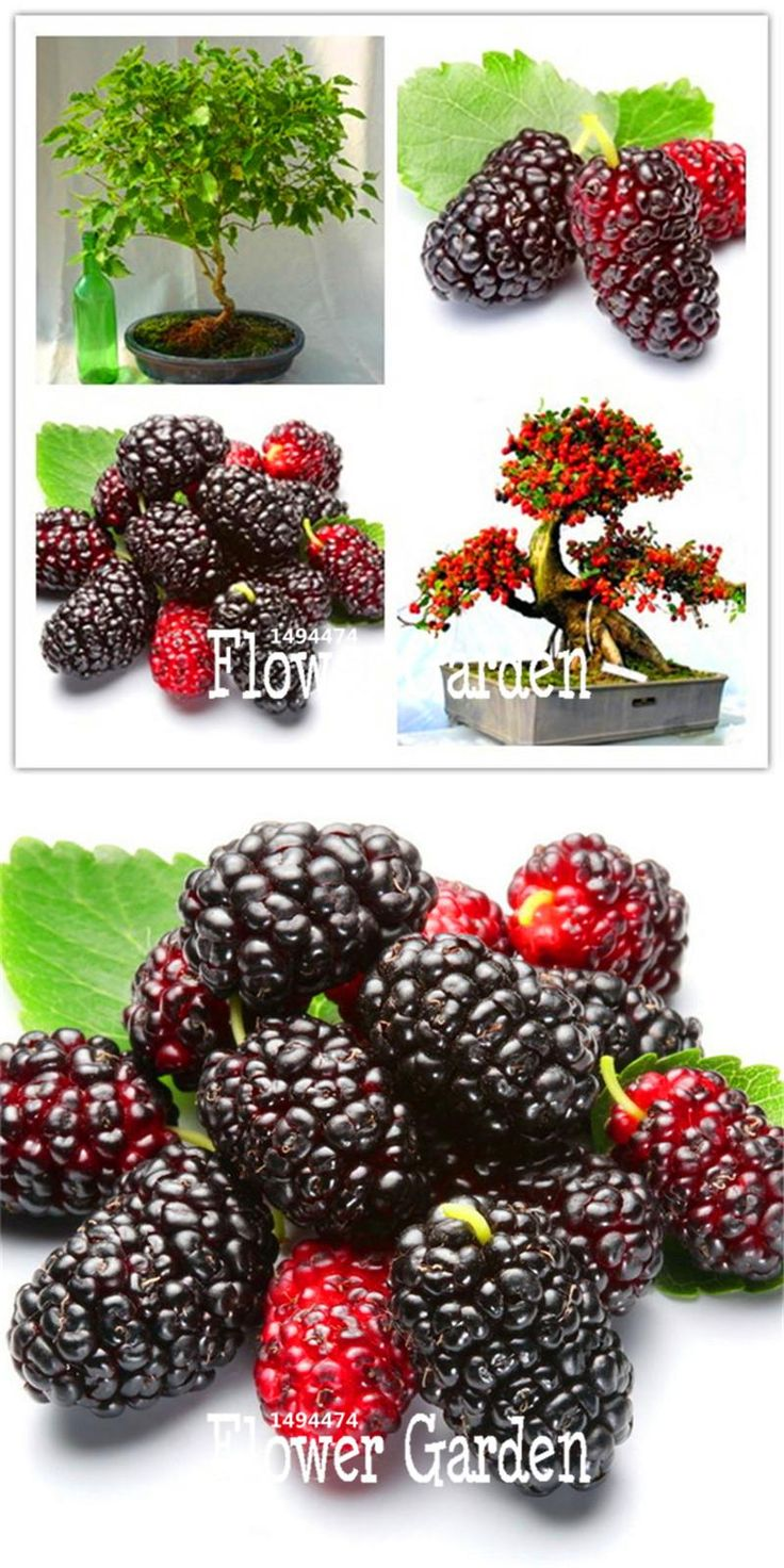 [Visit to Buy] Sale!10 Seed/Bag mulb erry bags Mulberry fruit seeds DIY home bonsai Morus Nigra Tree, black mulberry seeds plants,#8Z57VM #Advertisement