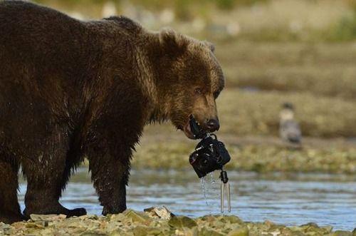 Nikon 100th Anniversary: 100 anni di storie Il fotografo David Bittner aveva sistemato la D800E nel punto in cui Baloo un orso che osservava da molti anni amava catturare il salmone. Baloo stava dormendo a una certa distanza quando all'improvviso arriva un'orsa con i suoi due cuccioli. Uno dei cuccioli ispezionò la fotocamera e l'afferrò cominciando a giocare con il cavo che collega la fotocamera al ricevitore remoto. Inizialmente emozionato David scattò una foto dopo l'altra anche se presto…