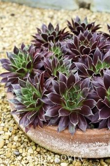 Black Hens and Chicks - Sempervivum 'Black' ~ Mounding evergreen perennial; excellent planted in mass groupings. Foliage is bright yellow-green with tips edged in purple. Small flower spikes are frosty white. Useful in rocky areas. Grows best in well-drained soil.