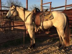Very Gentle 3 Year Old Ranch Horse for Sale - For more information click on the image or see ad # 56904 on www.RanchWorldAds.com