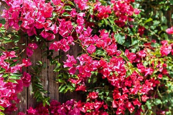 Vibrant fusia flowers covering a fence