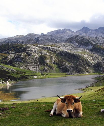 I never found the lake when i went due to fog..but i ran into the cows. Lagos de Covadonga #Asturias #Spain