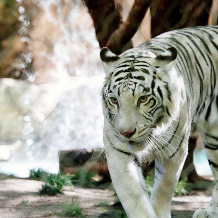 Come face-to-face with some of nature's most exotic and majestic creatures at Siegfried & Roy's Secret Garden and Dolphin Habitat. Explore, learn and play in an enchanting world of Bottlenose Dolphins, White Tigers, White Lions and Leopards, right in our backyard.