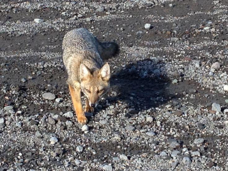 Un amigo chileno, un zorro que quería compartir nuestro pan
