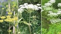https://www.durhamregion.com/news-story/5742725-wild-parsnip-cow-parsnip-giant-hogweed-can-you-identify-them-and-which-is-most-toxic-/