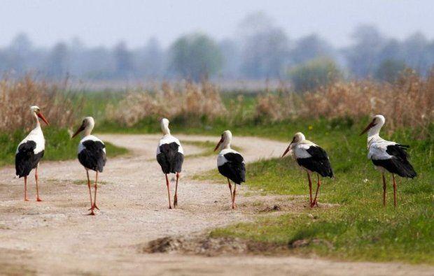 A quarter of stork population are Polish-born. Jedna czwarta populacji bocianów urodziła się w Polsce.