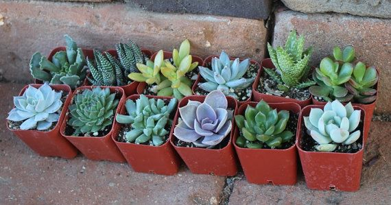 FIFTEEN (15) Assorted potted Succulent Collection 2 inch plastic pots succulents great for wedding gifts & FAVORS