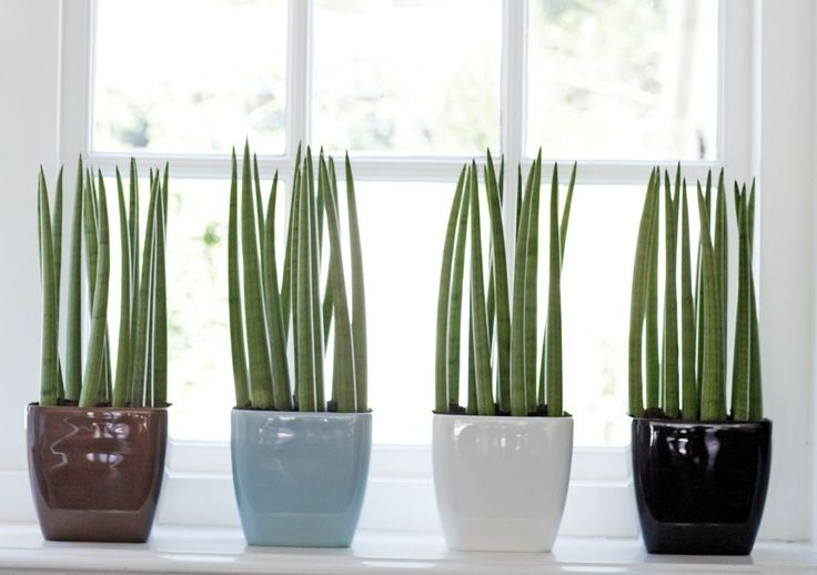 Sansevieria Cylindrica Search Plants And Sansevieria