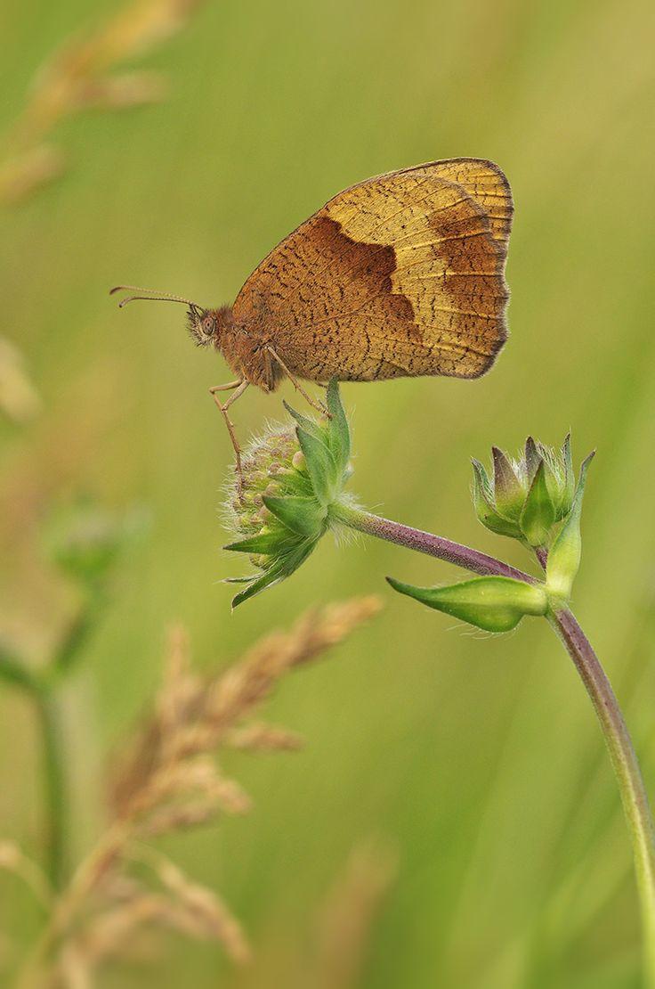 Ochsenauge (Buphthalmum salicifolium) - nahe Euerdorf (UFR), 14.06.2014