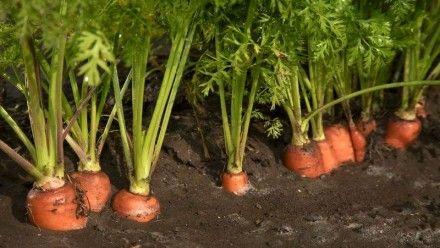 Vysievanie mrkvy a petržlenu