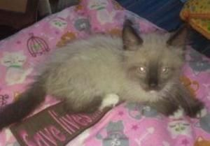 Plump 4 is an adoptable Ragdoll Cat in Fallston, MD. ** PICK YOUR PRICE ** Call my foster mom Teresa at 443-286-1138 to set up an appointment to meet me....