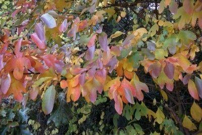 Sassafras trees scientific name is Sassafras albidum and hails from the family Lauraceae