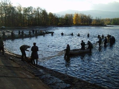 Traditional pond harvesting in South Bohemia, Czechia