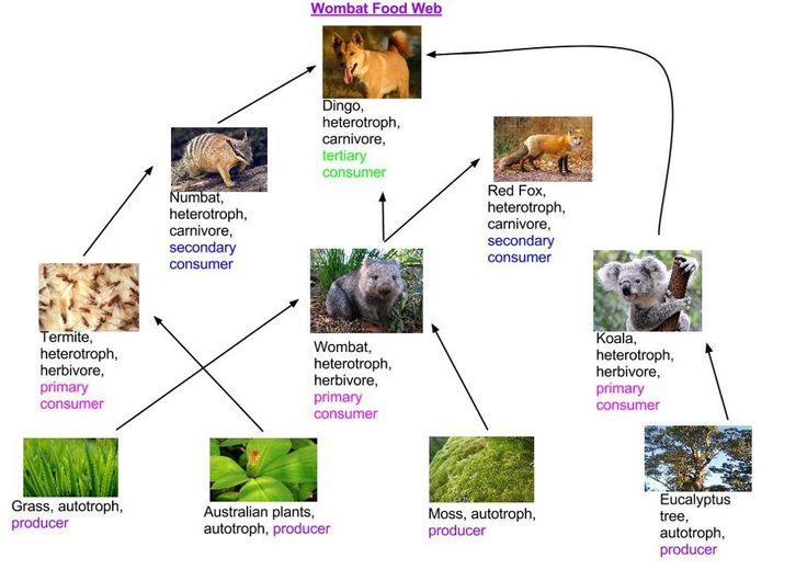 Touch This Image Wombat Food Web By Annanicole