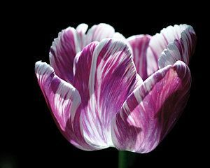 Purple And White Marbled Tulip Art Print