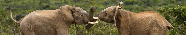 Addo Elephant National Park: Another great wild life park in the Cape, about 1.5 hours outside of Port Elizabeth