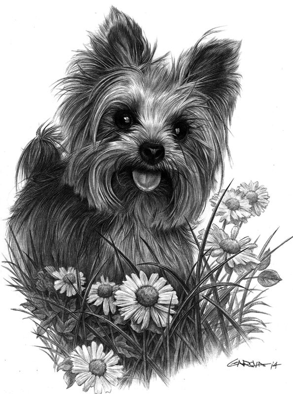 Pen drawing of a yorkie.