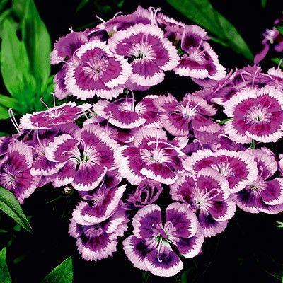 Dianthus Purple Picotee