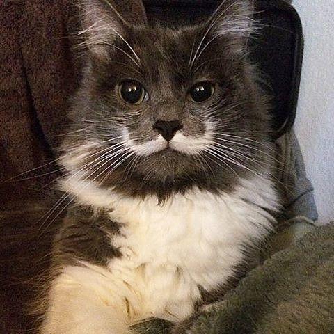 Гамильтон — единственный кот в своем роде Кот по кличке Гамильтон родился с рисунком на морде, который выглядит точь-в-точь как усы. Хозяин кота американец Джей Стов взял 11-месячного Гамильтона из приюта для животных. «Его усы настоящие. У него было это с тех пор, как он родился. Даже ветеринары удивляются, когда они видят его, так что я предполагаю, что он такой единственный. Многие люди присылают мне фотографии других кошек с усами.
