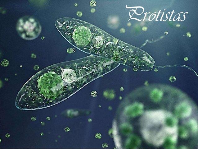 A importância ecológica do reino protista é que as algas unicelulares, as plantônicas são responsáveis por quase 90% da proudução de oxigênio do planeta, sendo também a base da cadeia alimentar aquática. O fitoplâncton emite para tmosfera um gás dimetil-sulfeto (DMS), que é responsável pela formação de nuvens, desempenhando um papel importante no clima terrestre. O excesso de algas indicam desequilíbrio ecológico (eutroficação).